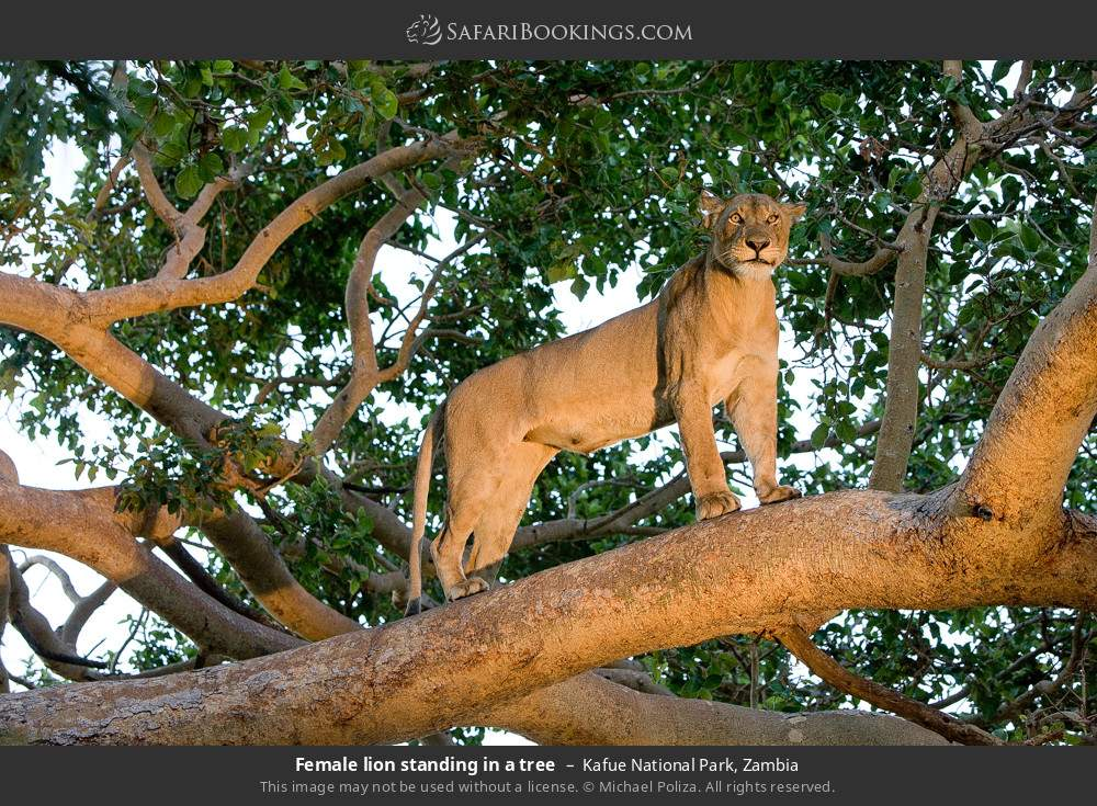 Female lion standing in a tree in Kafue National Park, Zambia
