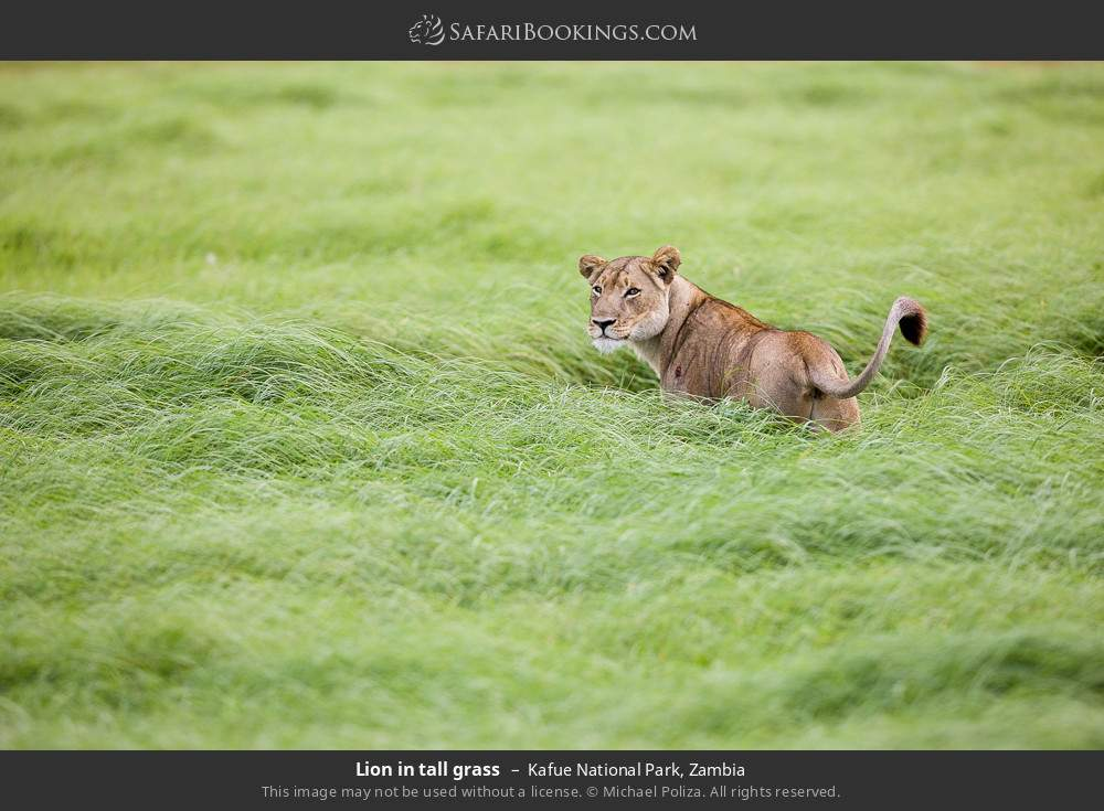 Lion in tall grass in Kafue National Park, Zambia