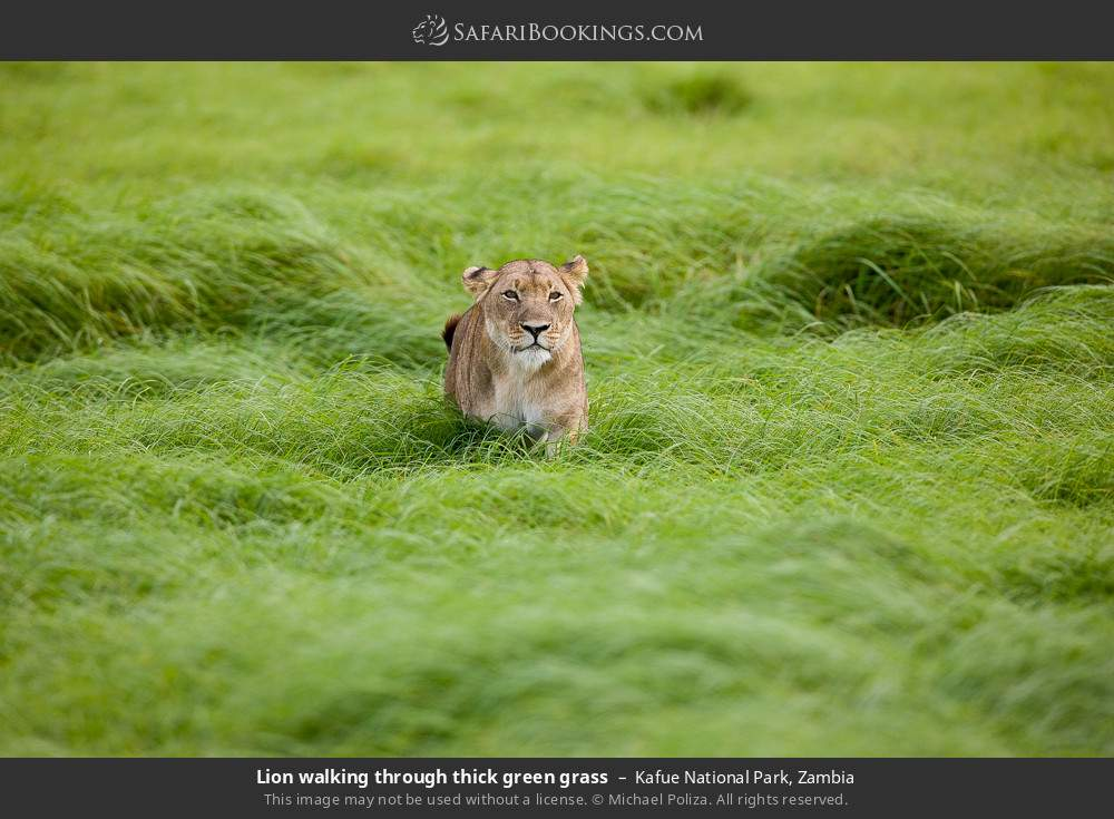 Lion walking through thick green grass in Kafue National Park, Zambia