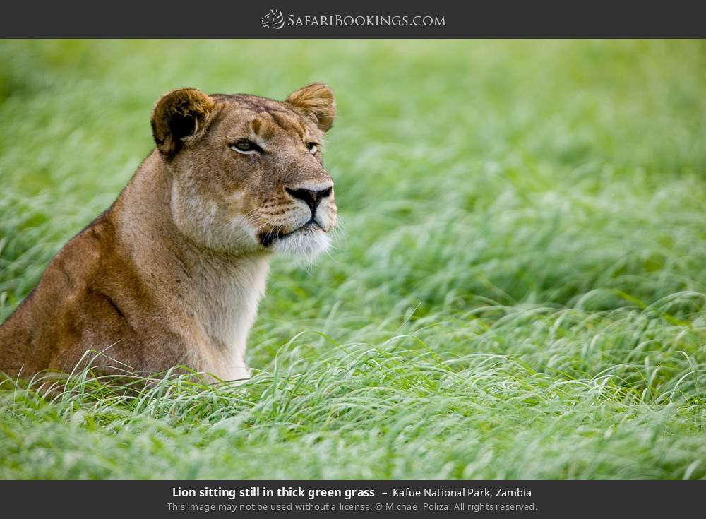 Lion sitting still in thick green grass in Kafue National Park, Zambia