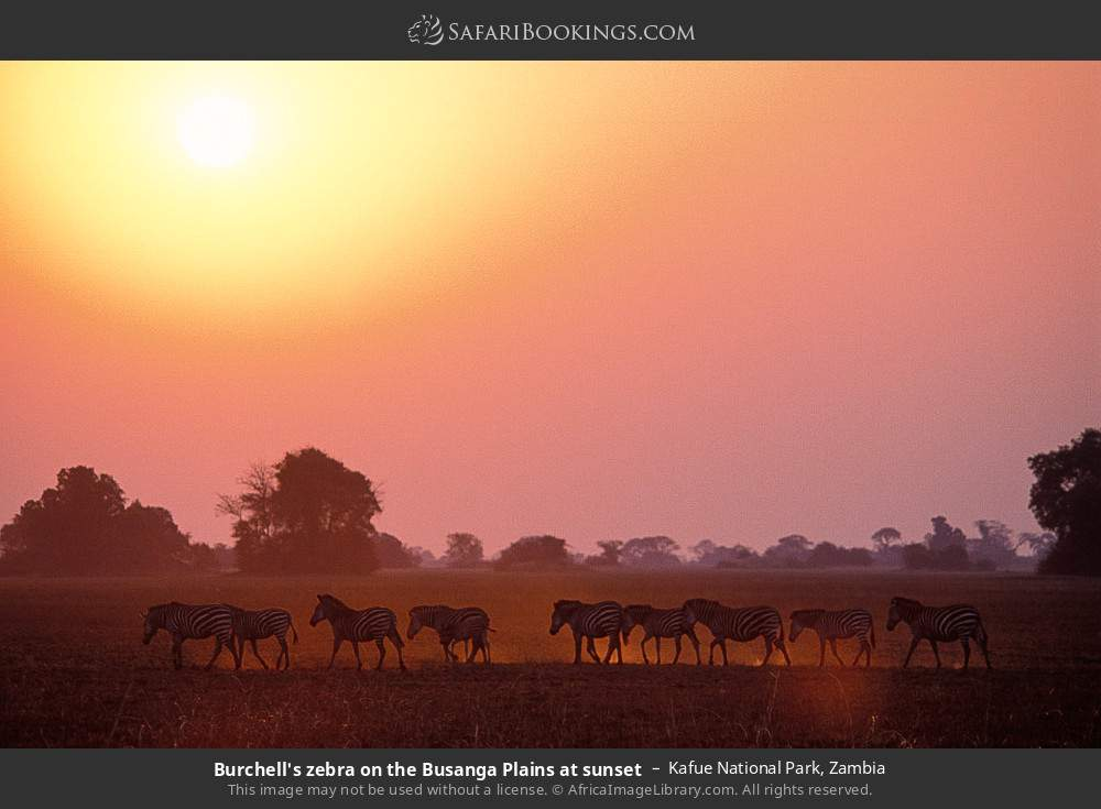 Burchell's zebra on the Busanga plains at sunset in Kafue National Park, Zambia