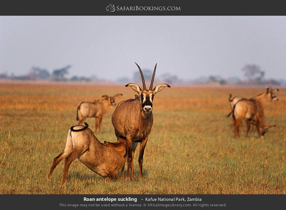 Roan antelope suckling  in Kafue National Park, Zambia
