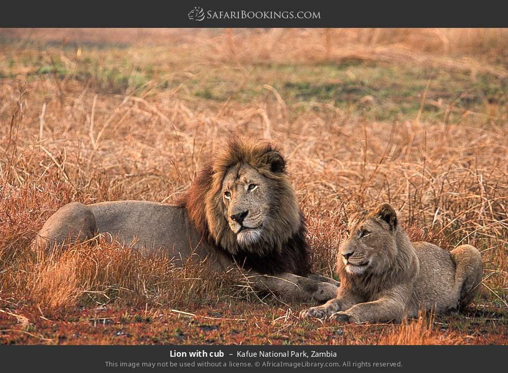 Lion with cub in Kafue National Park, Zambia