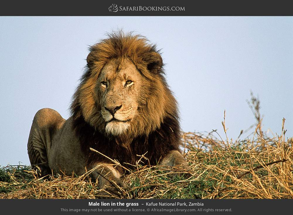 Male lion in the grass in Kafue National Park, Zambia