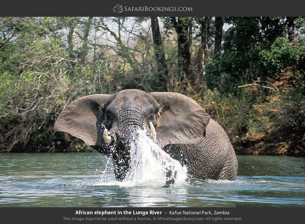 African elephant in the Lunga River in Kafue National Park, Zambia