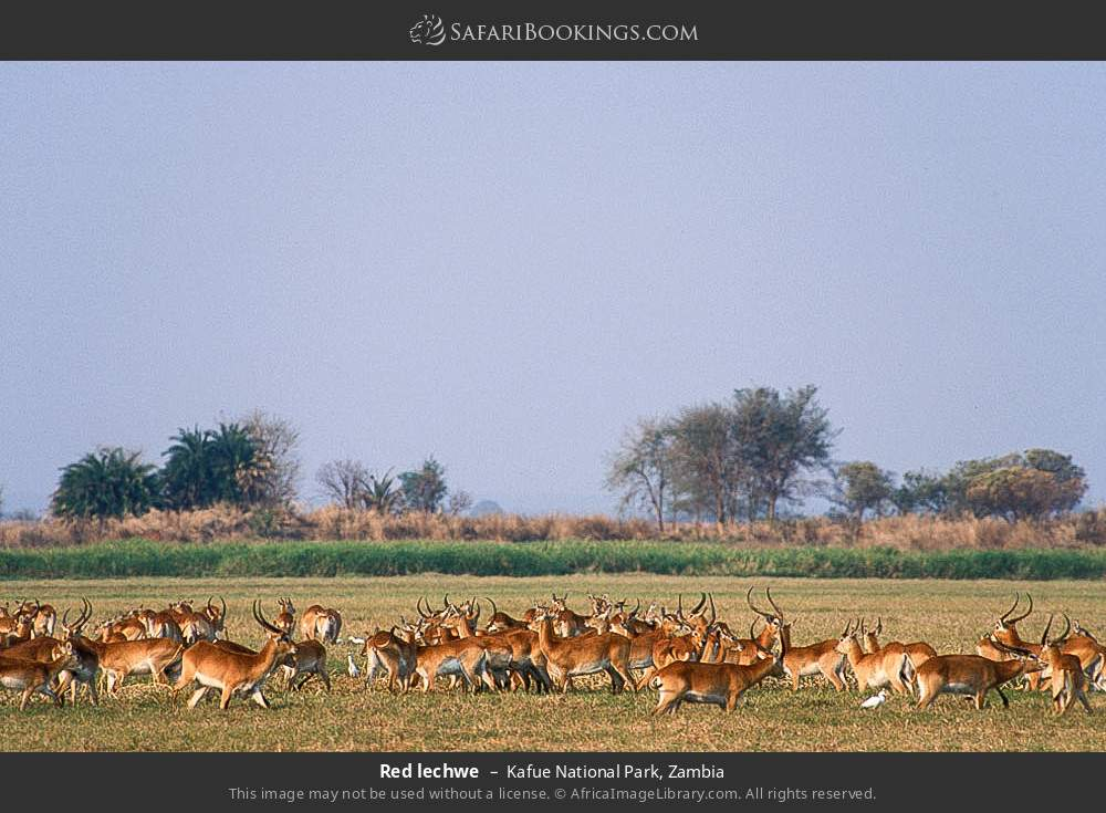 Red lechwe in Kafue National Park, Zambia
