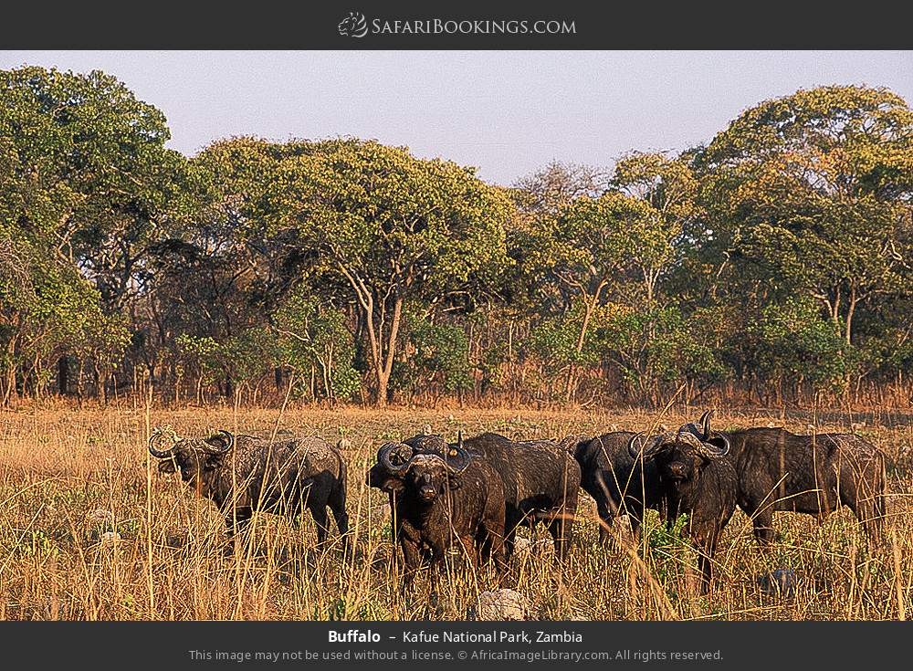 Buffalo in Kafue National Park, Zambia