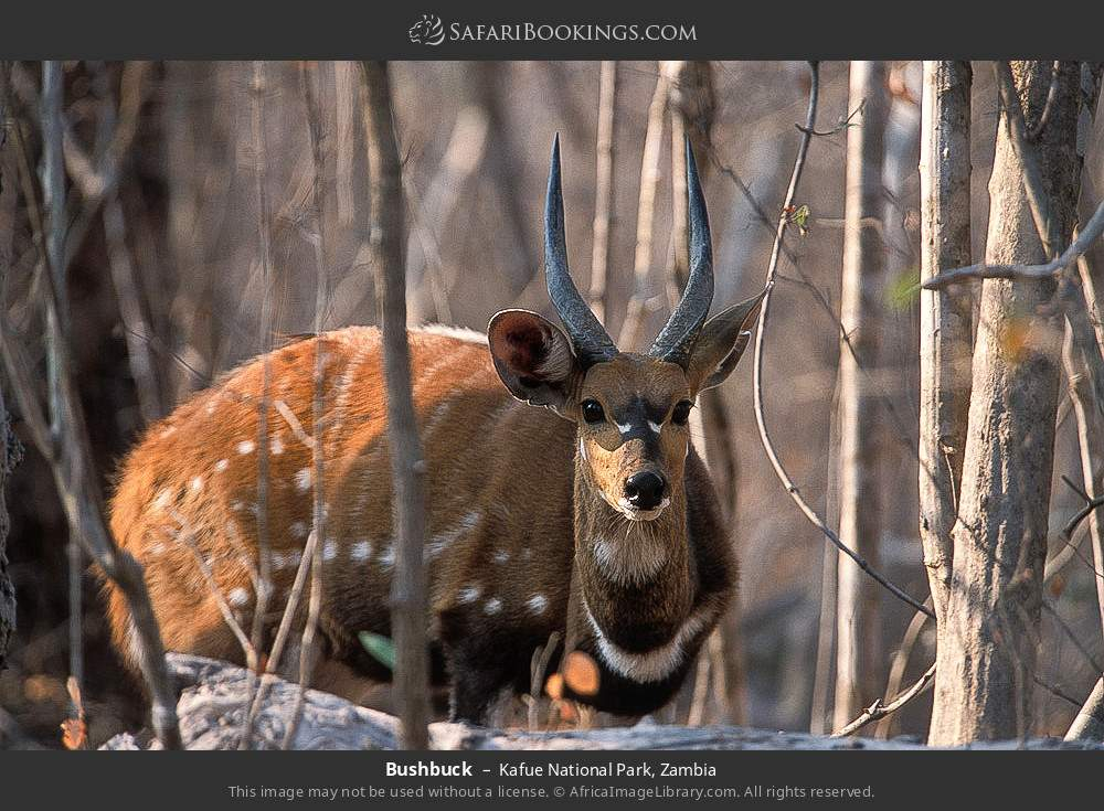 Bushbuck in Kafue National Park, Zambia