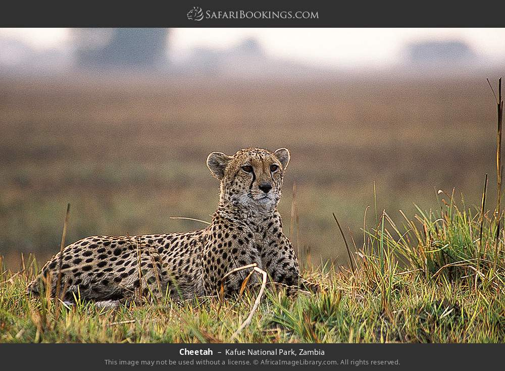 Cheetah in Kafue National Park, Zambia