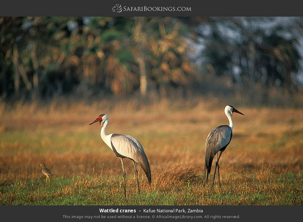 Wattled cranes in Kafue National Park, Zambia