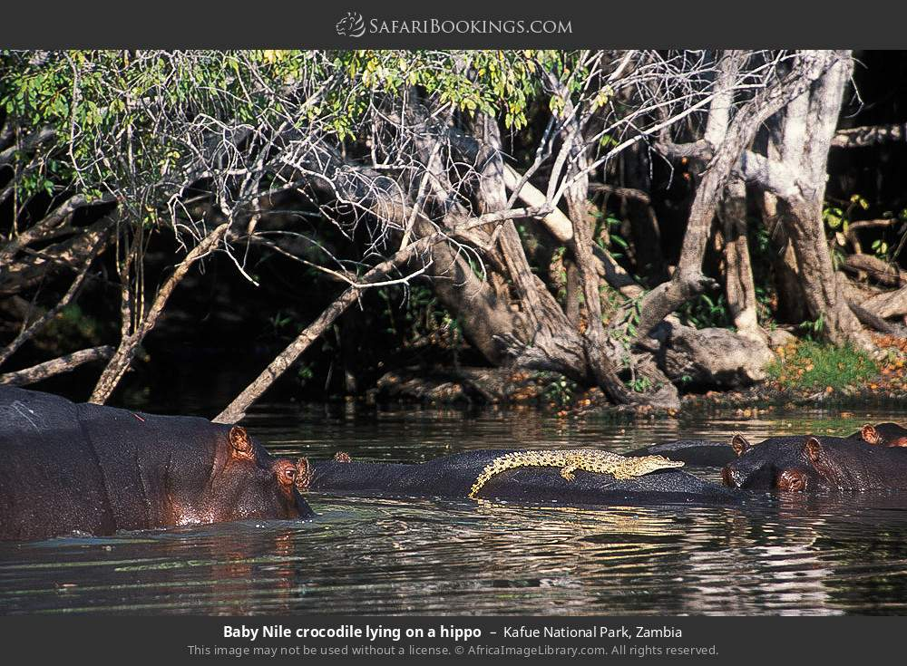 Baby nile crocodile lying on a hippo in Kafue National Park, Zambia