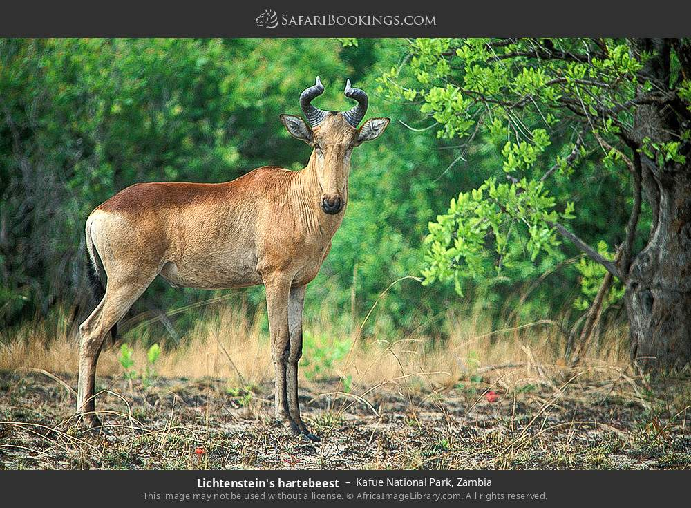 Lichtenstein's hartebeest in Kafue National Park, Zambia