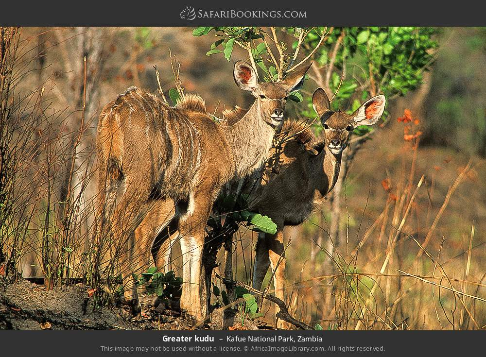 Greater kudu in Kafue National Park, Zambia