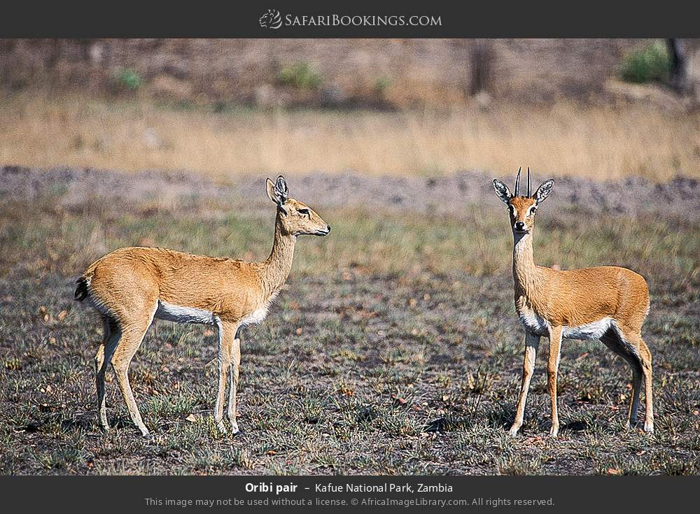 Oribi pair in Kafue National Park, Zambia