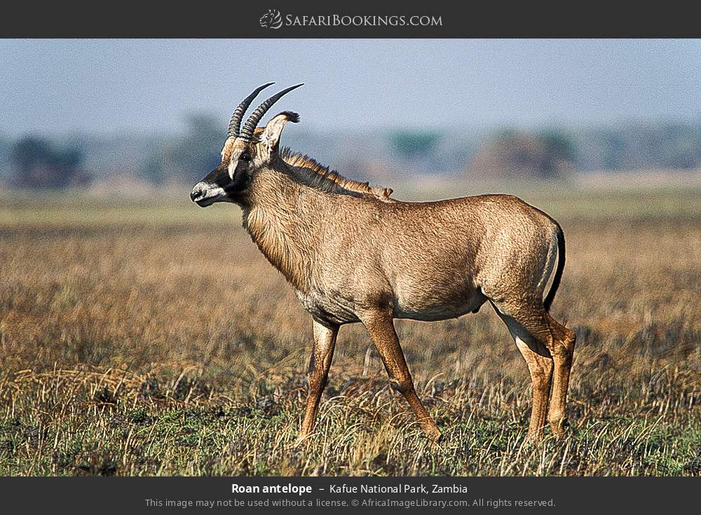 Roan antelope in Kafue National Park, Zambia
