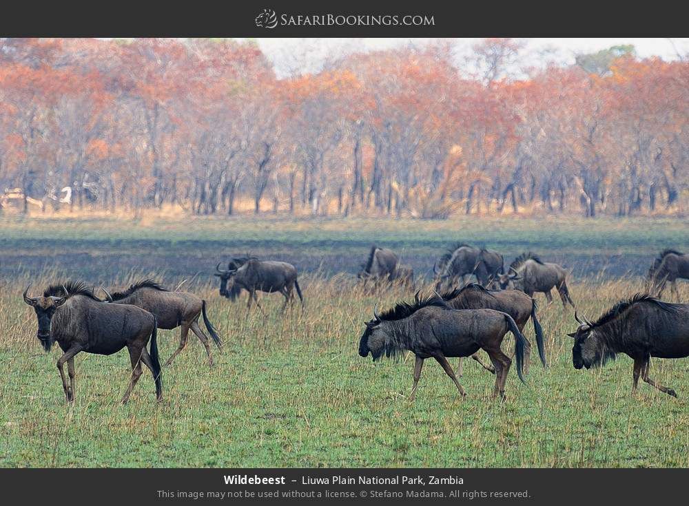 Wildebeest in Liuwa Plain National Park, Zambia