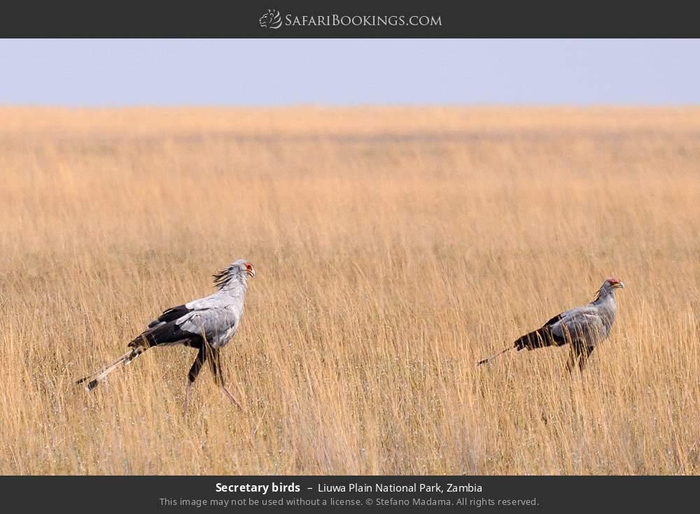 Secretary birds in Liuwa Plain National Park, Zambia