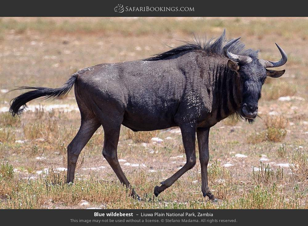 Blue wildebeest in Liuwa Plain National Park, Zambia
