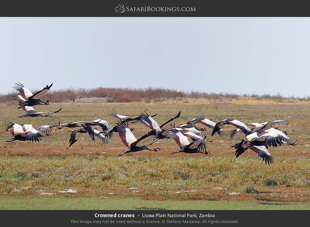 Crowned cranes in Liuwa Plain National Park, Zambia