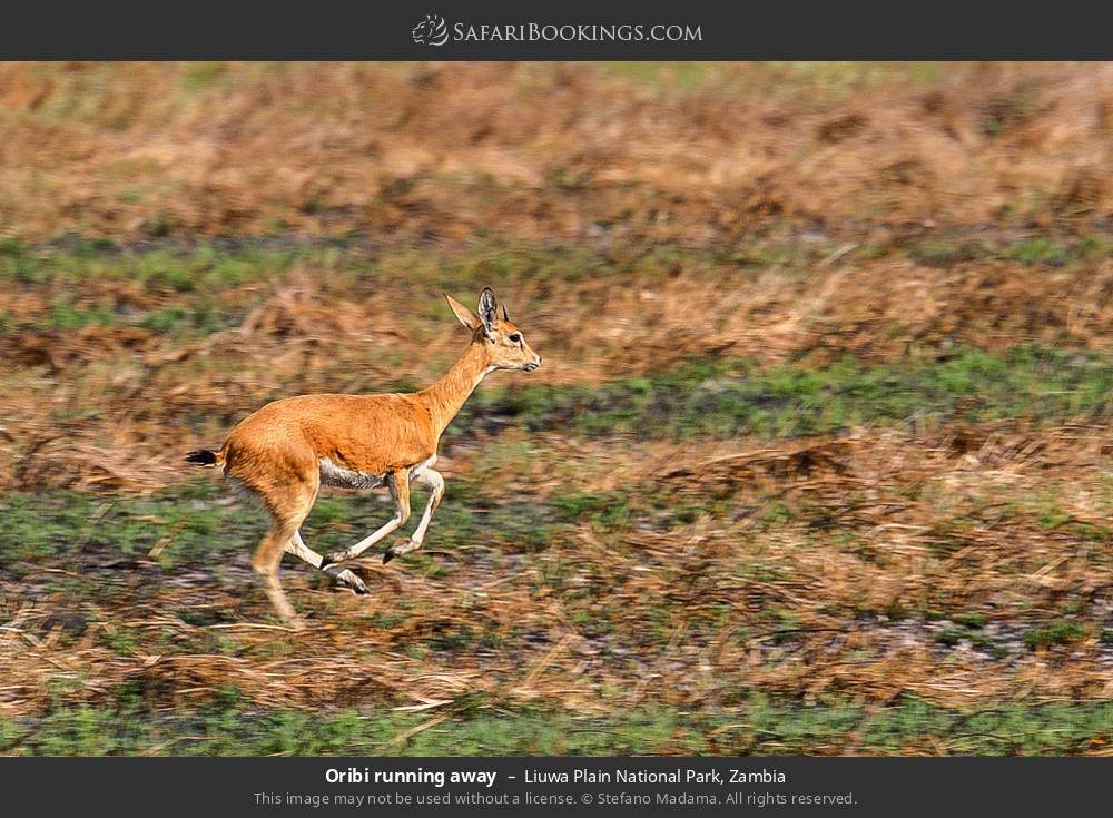 Oribi running away in Liuwa Plain National Park, Zambia