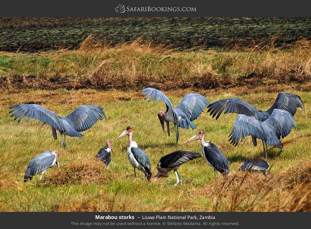 Marabou storks in Liuwa Plain National Park, Zambia