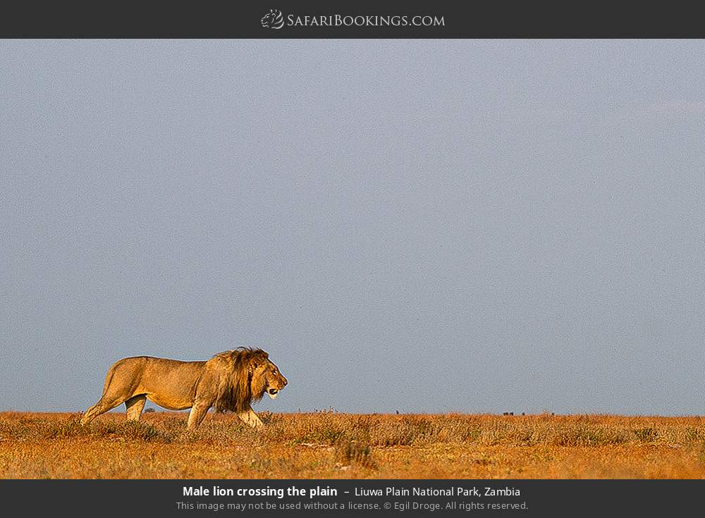 Male lion crossing the plain in Liuwa Plain National Park, Zambia