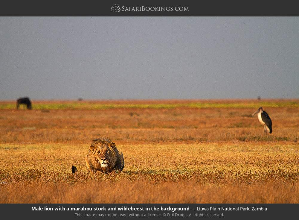 Male lion with a Marabou stork and wildebeest in the background in Liuwa Plain National Park, Zambia