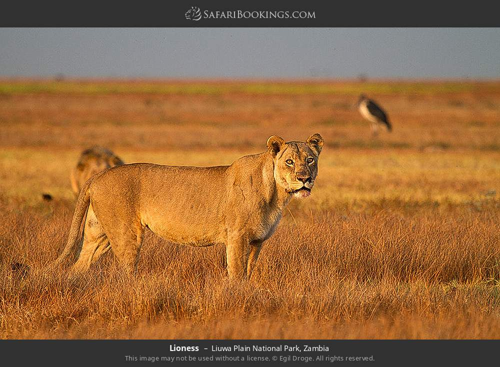 Lioness in Liuwa Plain National Park, Zambia