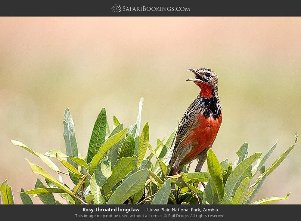 Rosy-throated longclaw in Liuwa Plain National Park, Zambia