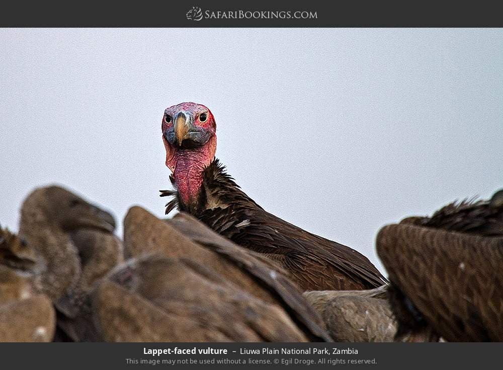 Lappet-faced vulture in Liuwa Plain National Park, Zambia