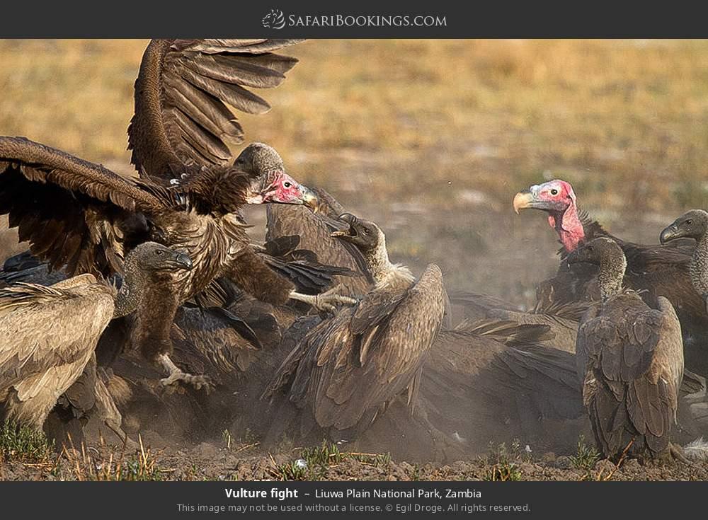Vulture fight in Liuwa Plain National Park, Zambia