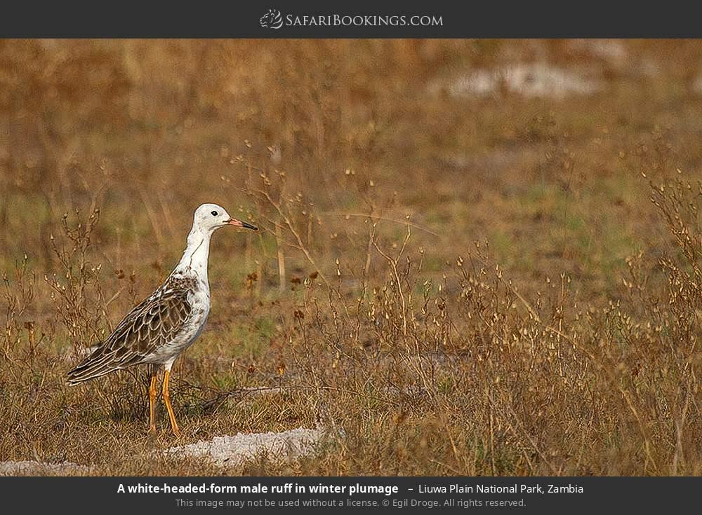 A white headed form male ruff in winter plumage in Liuwa Plain National Park, Zambia