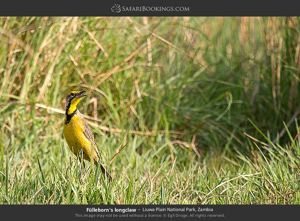 Fullerborn's longclaw in Liuwa Plain National Park, Zambia