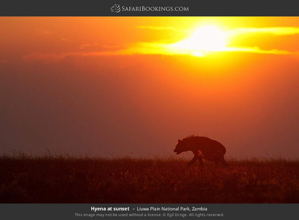 Hyena at sunset in Liuwa Plain National Park, Zambia