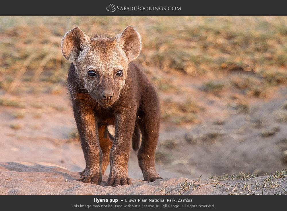 Hyena pup in Liuwa Plain National Park, Zambia