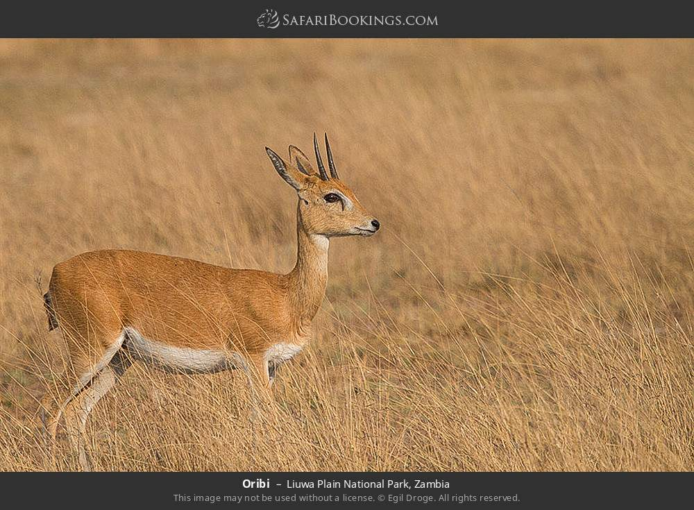 Oribi in Liuwa Plain National Park, Zambia