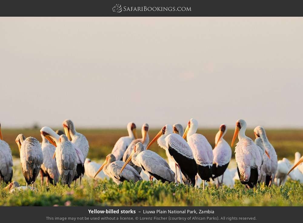 Yellow-billed storks in Liuwa Plain National Park, Zambia