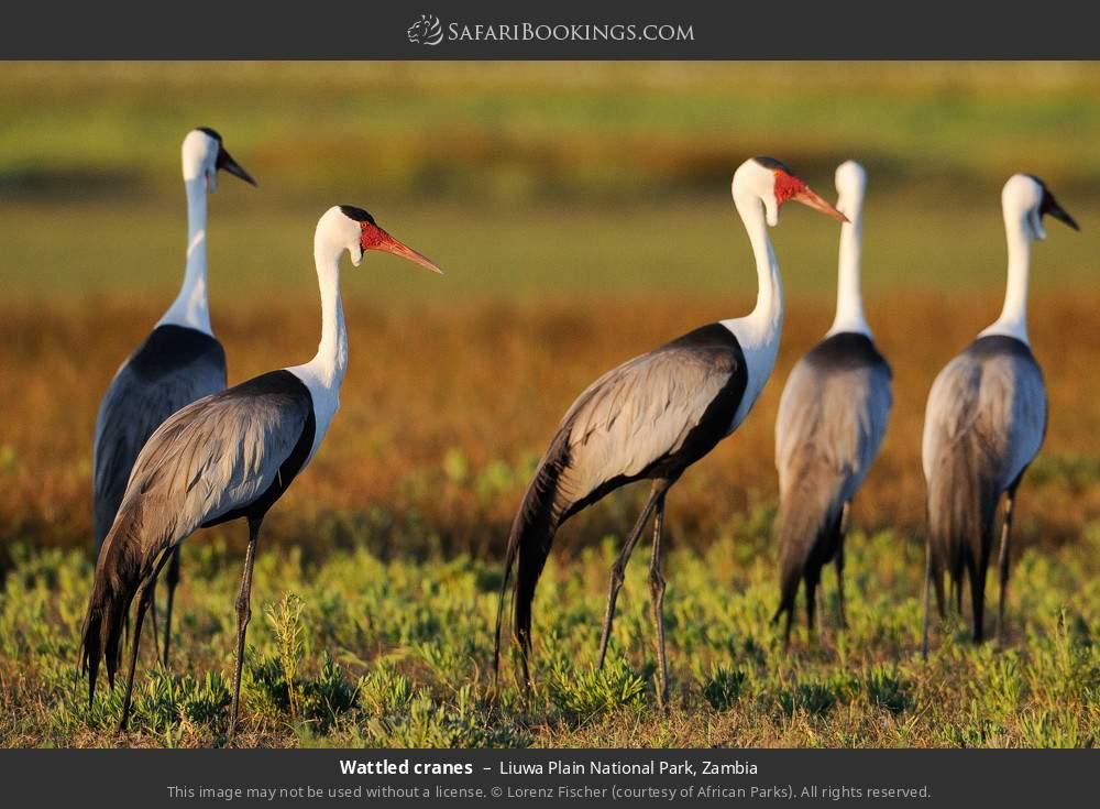 Wattled cranes in Liuwa Plain National Park, Zambia