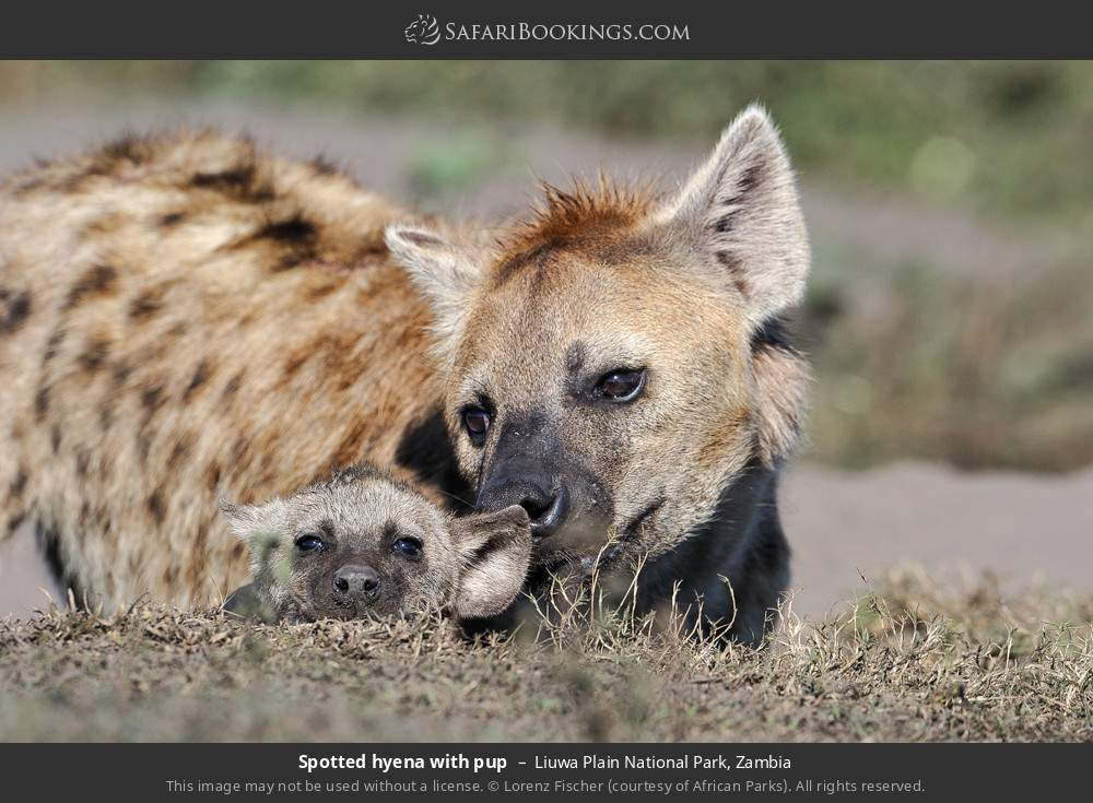 Spotted hyena with pup in Liuwa Plain National Park, Zambia