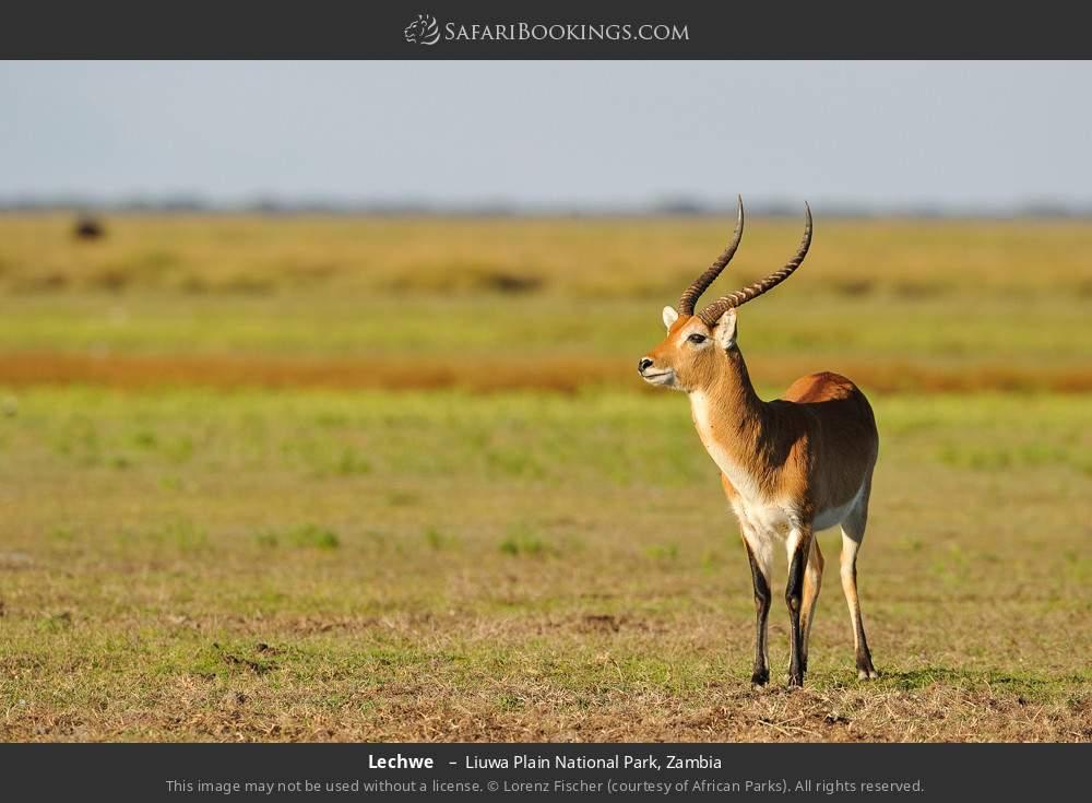Lechwe  in Liuwa Plain National Park, Zambia