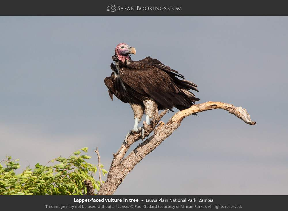 Lappet-faced vulture in tree in Liuwa Plain National Park, Zambia