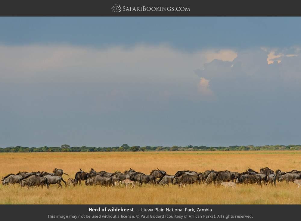 Herd of wildebeest in Liuwa Plain National Park, Zambia