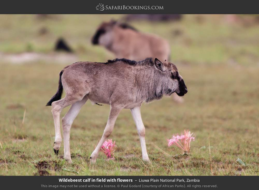 Wildebeest calf in field with flowers in Liuwa Plain National Park, Zambia