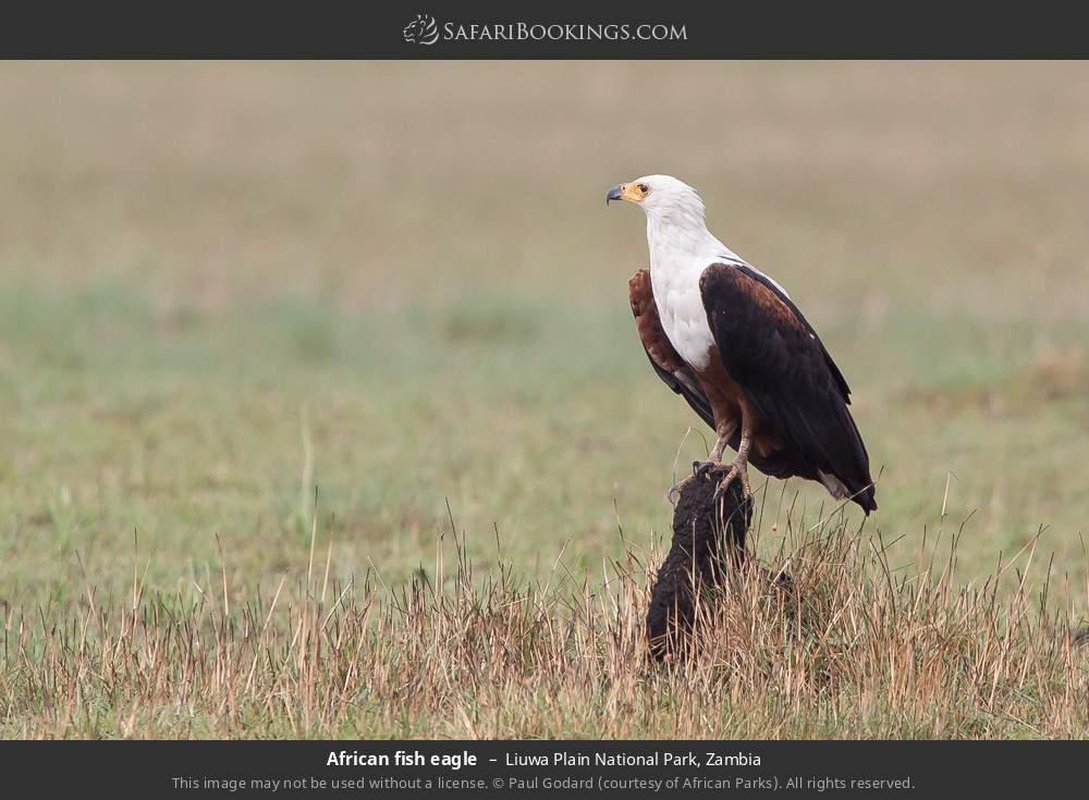 African fish eagle in Liuwa Plain National Park, Zambia