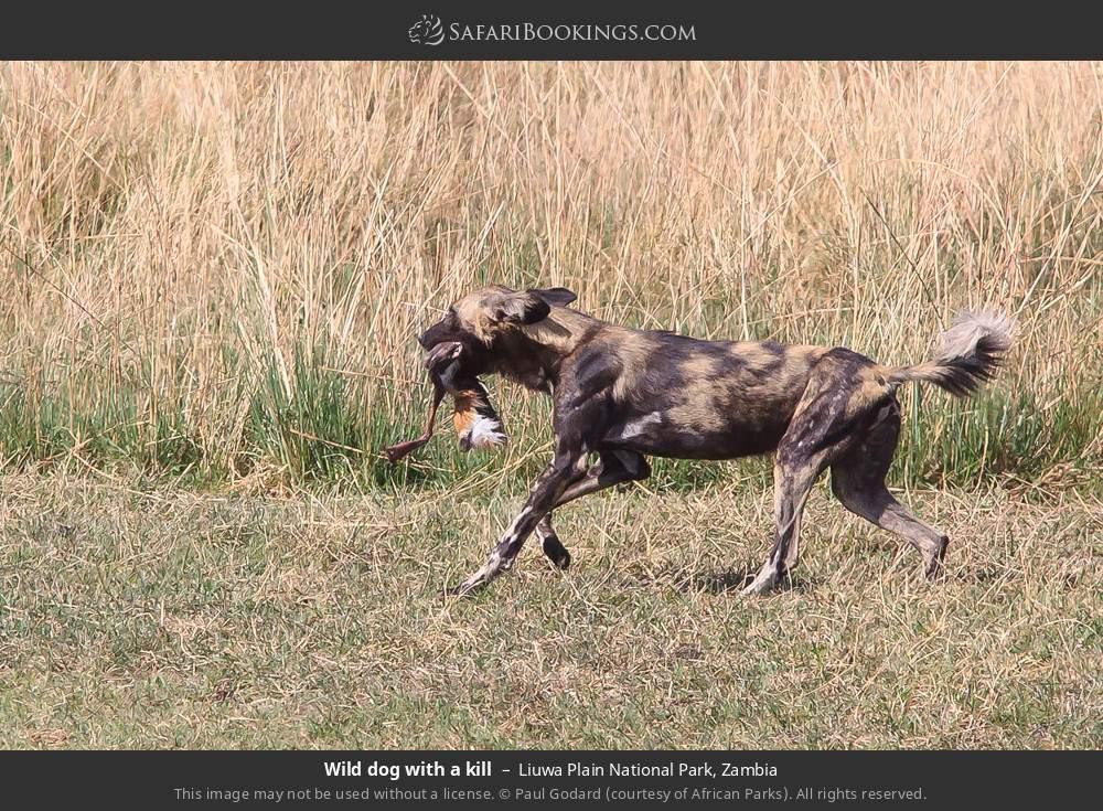 Wild dog with a kill in Liuwa Plain National Park, Zambia