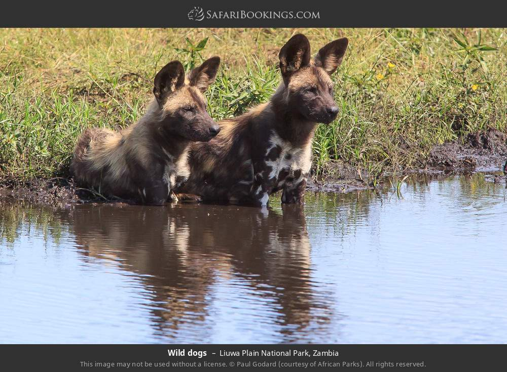 Wild dogs in Liuwa Plain National Park, Zambia