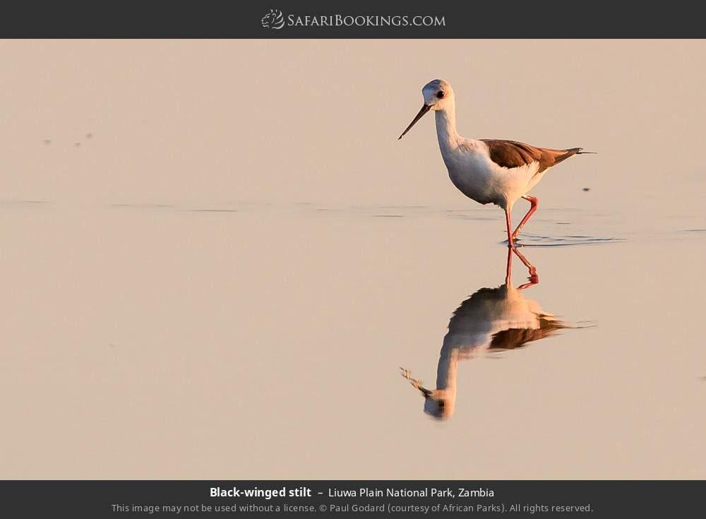 Black-winged stilt in Liuwa Plain National Park, Zambia