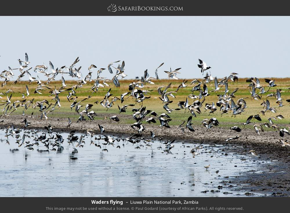 Waders flying in Liuwa Plain National Park, Zambia