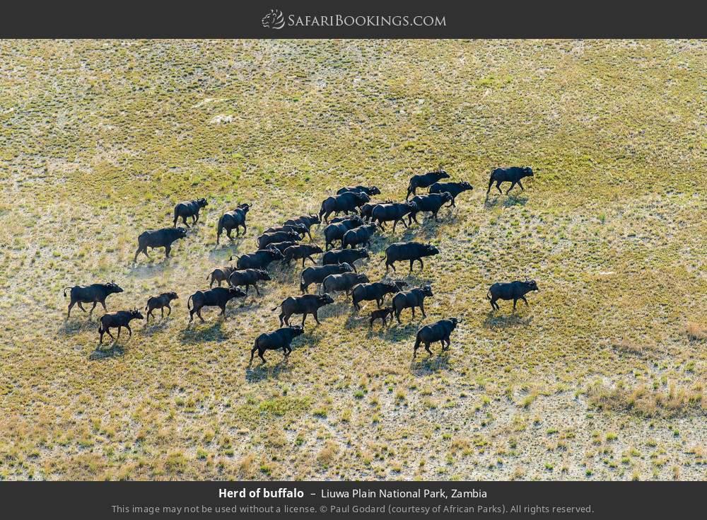 Herd of buffalo in Liuwa Plain National Park, Zambia