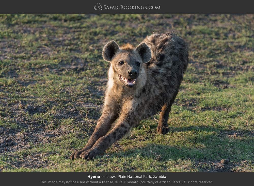 Hyena in Liuwa Plain National Park, Zambia